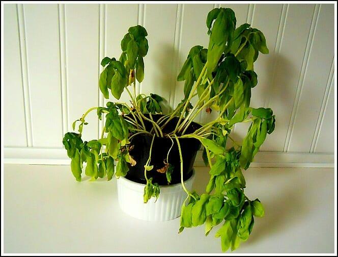 En slokande basilika-planta.