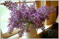 lilacs thumb