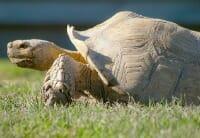 tortoise thumb
