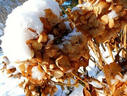 winter hydrangeas