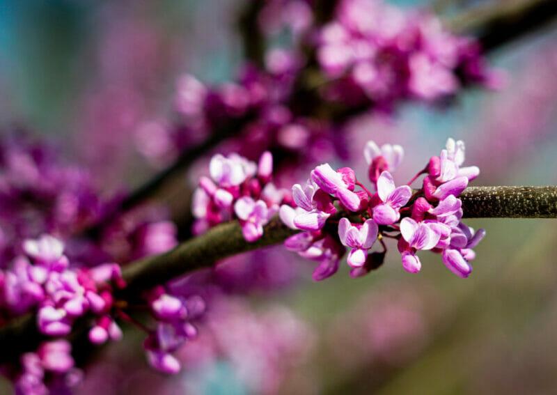 redbud tree blooming